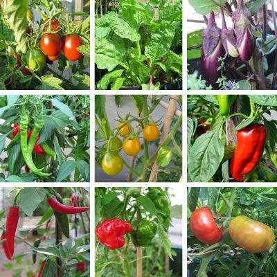 Gemüse Jungpflanzen